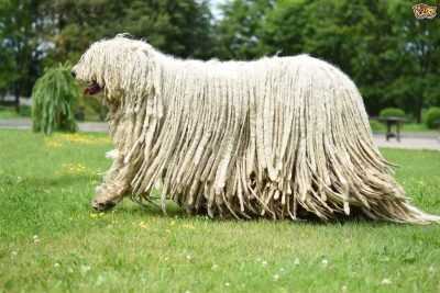 Long Haired Komondor Dog Walkers