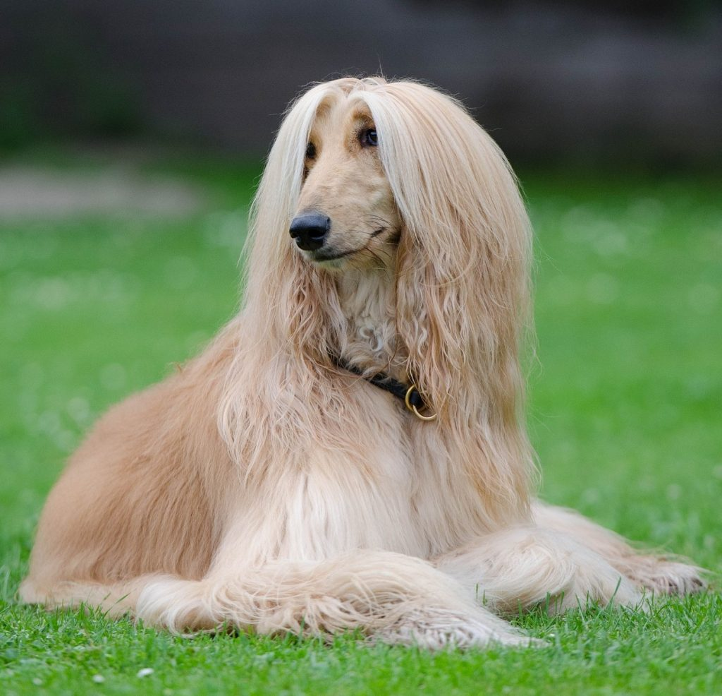 long haired dog afghan hound dog walkers
