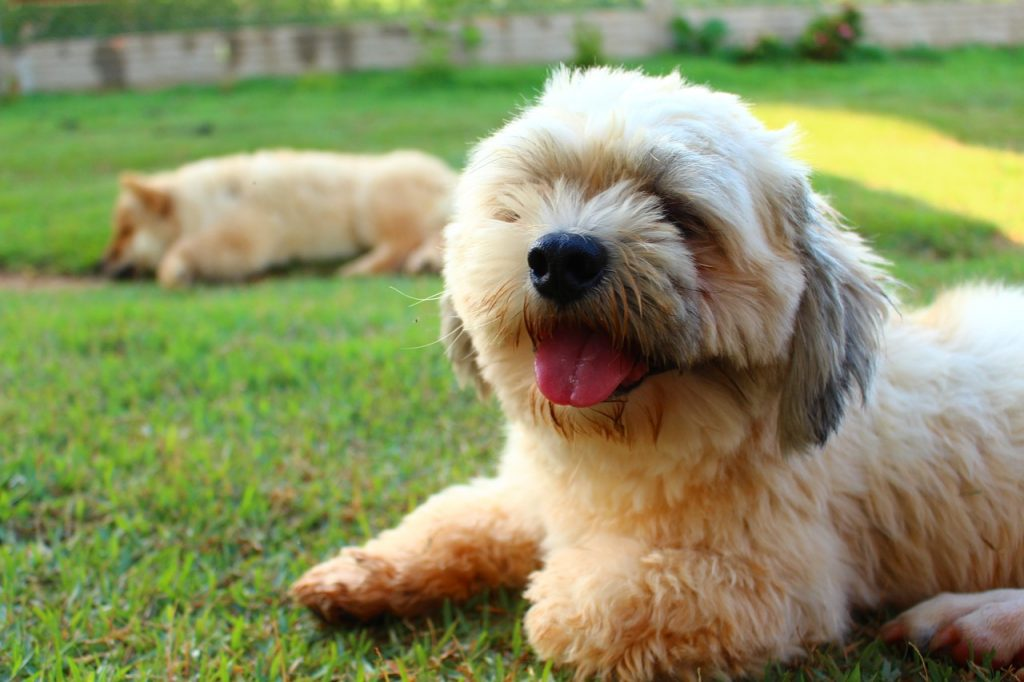 long haired dog lhasa apso dog walkers