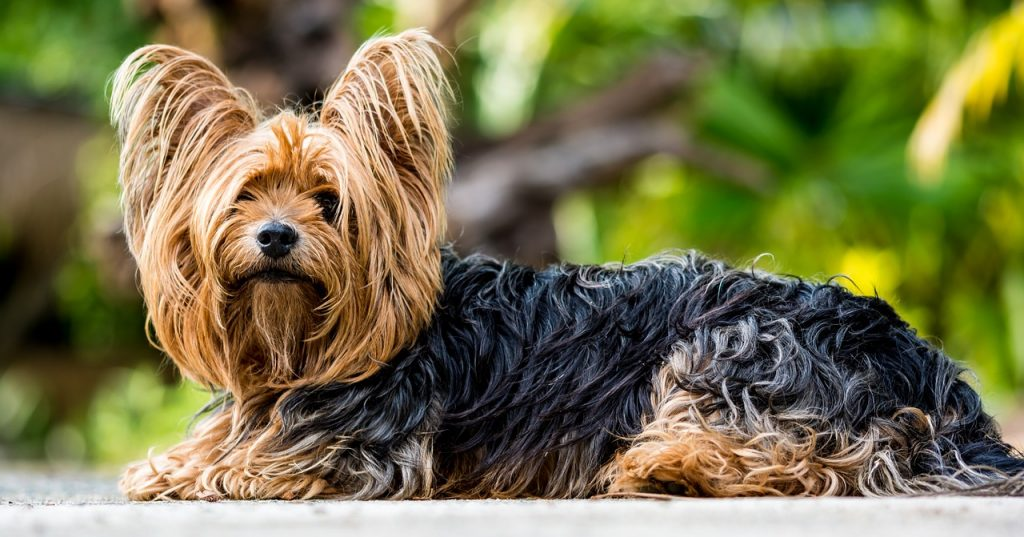 long haired dog yorkshire terrier dog walkers