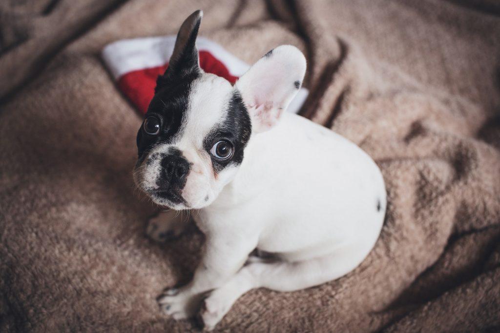 popular pet dog breeds