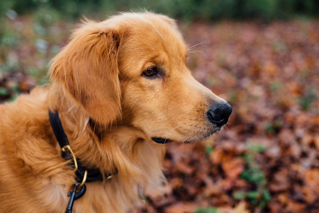 popular pet dog breeds